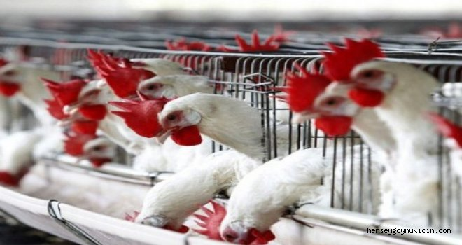 Üretimi Teşvik için Kümesiyle Tavuk Dağıtılacak